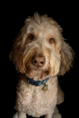 Photo: A studio portrait of a golden doodle dog.