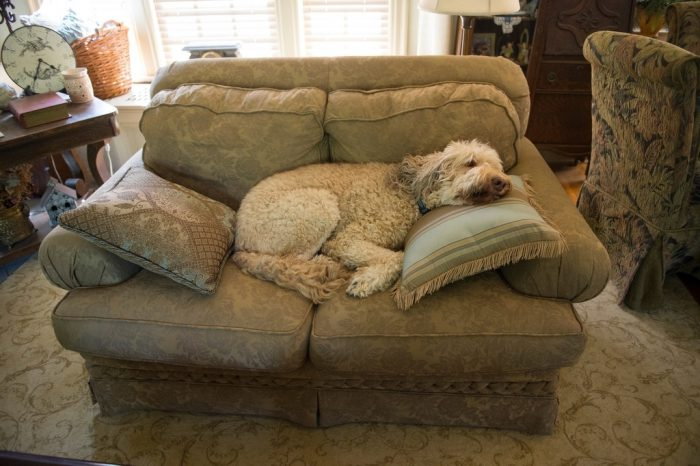 Photo: A labradoodle takes a nap on a loveseat.