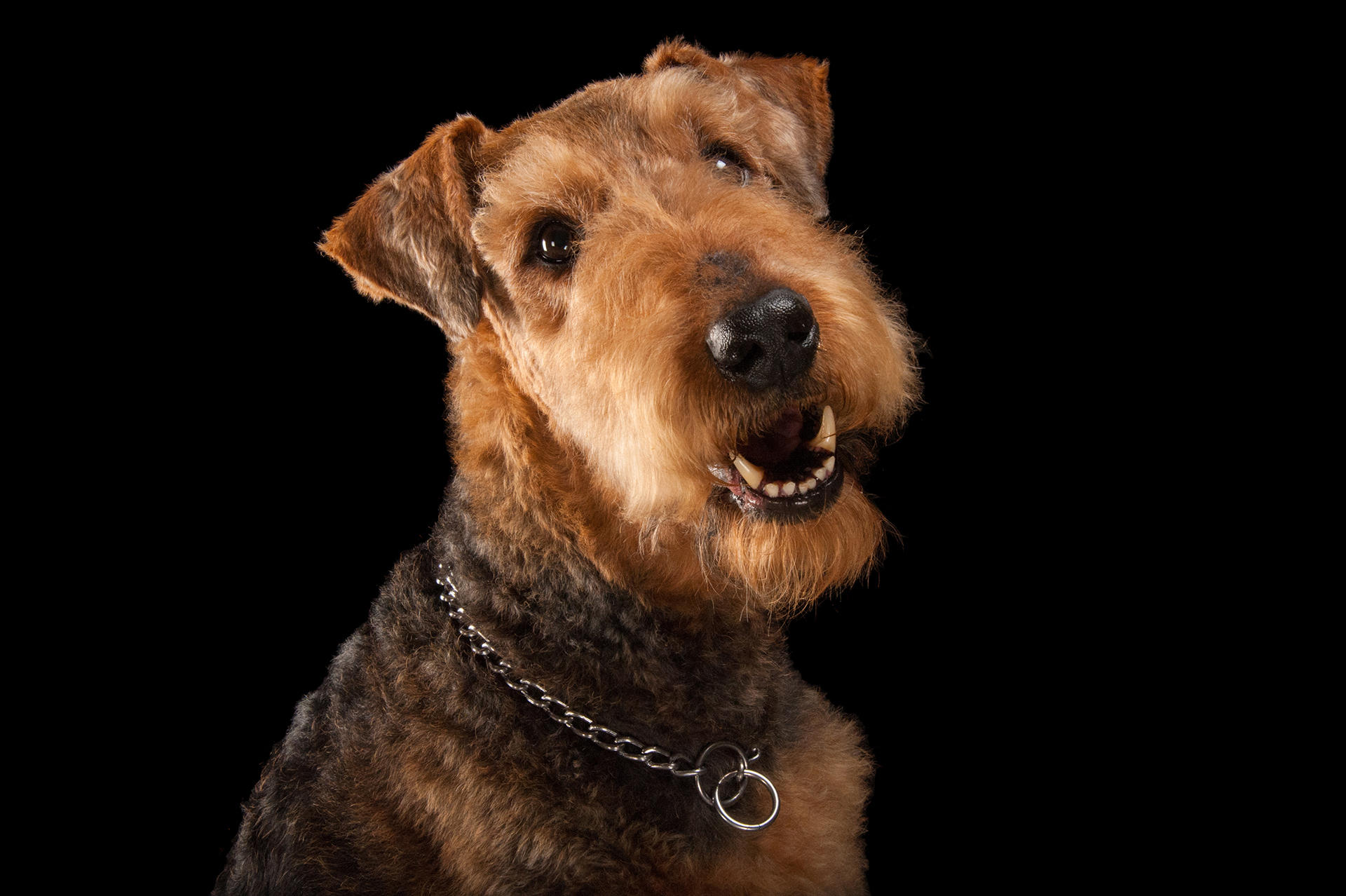 Photo: A studio portrait of an airedale terrier.