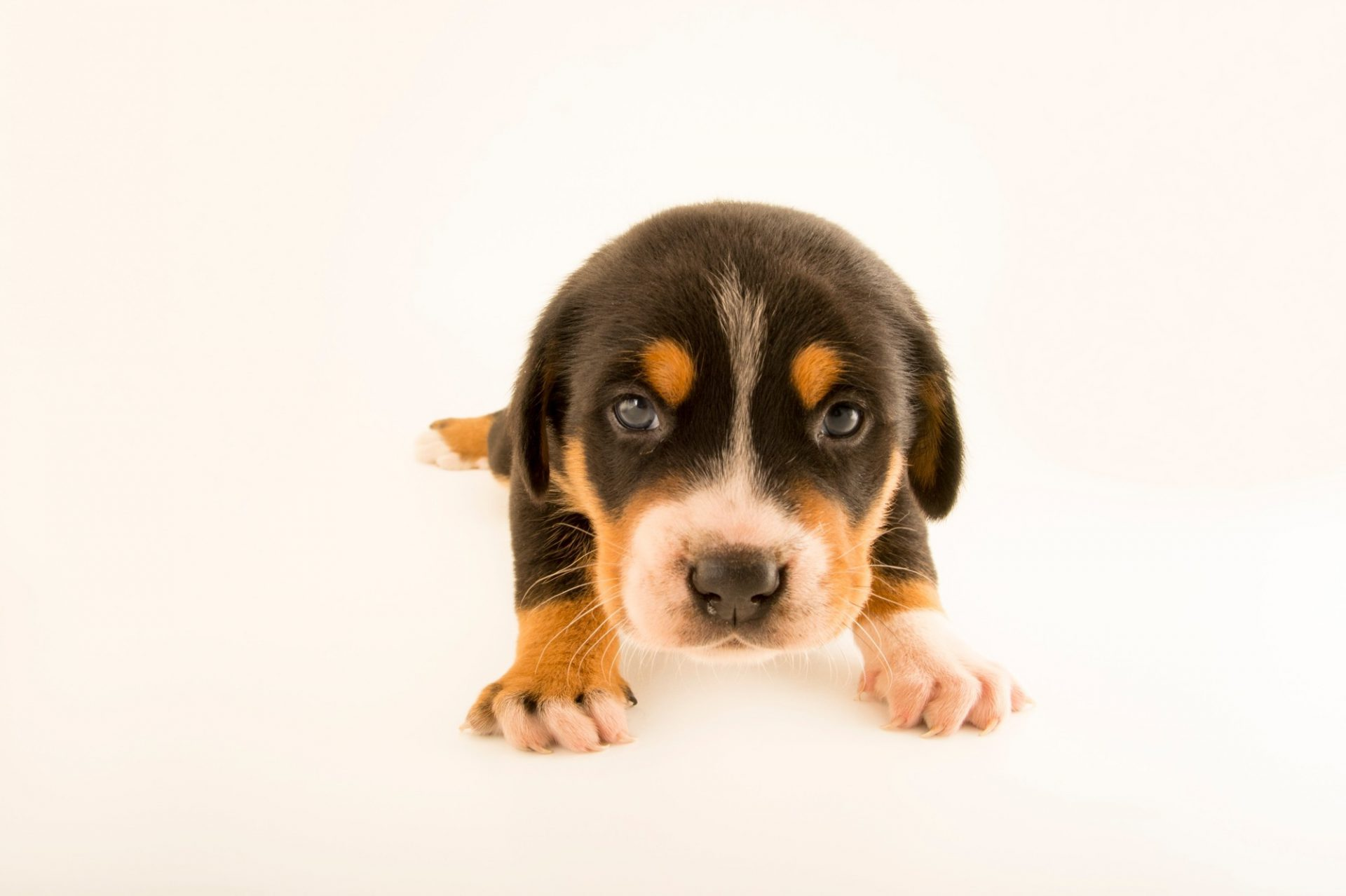 Photo: A one-month-old Greater Swiss mountain dog puppy in Choussy, France.