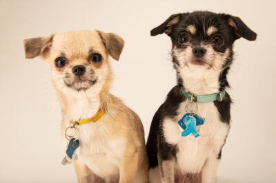 Photo: Two mixed breed chihuahuas.