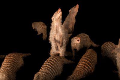 Banded mongoose (Mungos mungo) at the Fort Wayne Zoo.