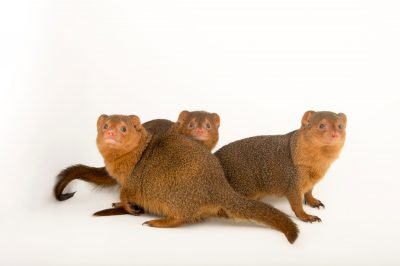 Picture of common dwarf mongooses (Helogale parvula) at the Omaha Henry Doorly Zoo.