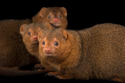 Picture of common dwarf mongooses (Helogale parvula) at the Omaha Henry Doorly Zoo
