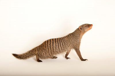 A banded mongoose (Mungos mungo) at the Fort Wayne Children's Zoo.