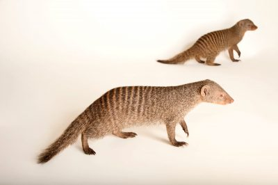 Two banded mongooses (Mungos mungo) at the Fort Wayne Children's Zoo.