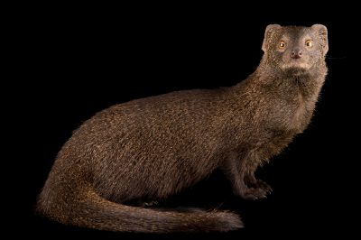 Photo: A slender mongoose (Galerella sanguinea) at the Plzen Zoo in the Czech Republic.
