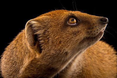 Photo: A yellow mongoose (Cynictis penicillata) at the Plzen Zoo in the Czech Republic.
