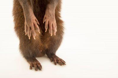 Photo: Marsh mongoose (Atilax paludinosus) named Nino at Park Assango, ONG Animal's World in Libreville, Gabon.