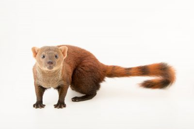 Photo: A ring-tailed mongoose (Galidia elegans) at the Plzen Zoo in the Czech Republic.