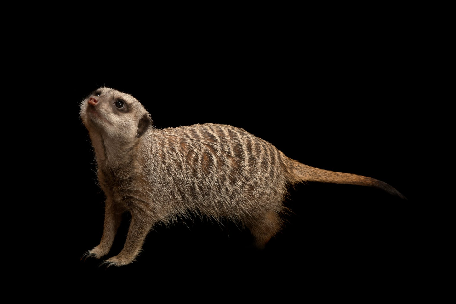 Photo: A slender-tailed meerkat (Suricata suricatta) at the Miller Park Zoo. She is very curious and inquisitive and will chase crickets all over the exhibit to catch and eat.