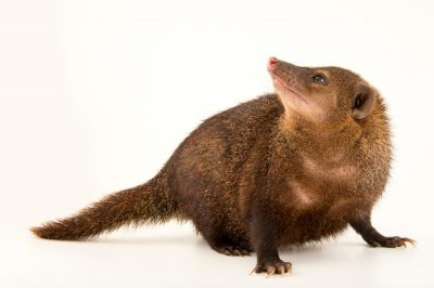 Photo: Long nosed kusimanse (Crossarchus obscurus) at the Plzen Zoo in the Czech Republic.