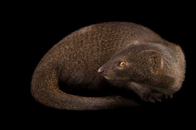 Photo: A slender mongoose (Galerella sanguinea) at the Plzen Zoo.