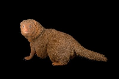 Photo: An East African dwarf mongoose (Helogale partial ssp.) at the Plzen Zoo.