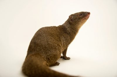 Photo: Small Indian mongoose (Herpestes javanicus) at the Assam State Zoo in Guwahati, Assam, India.