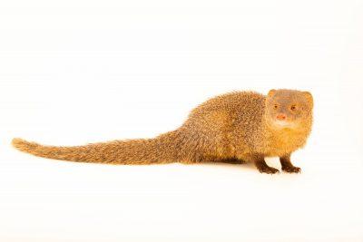 Photo: A Javan mongoose (Herpestes javanicus) from Sumatra, at Taman Safari.