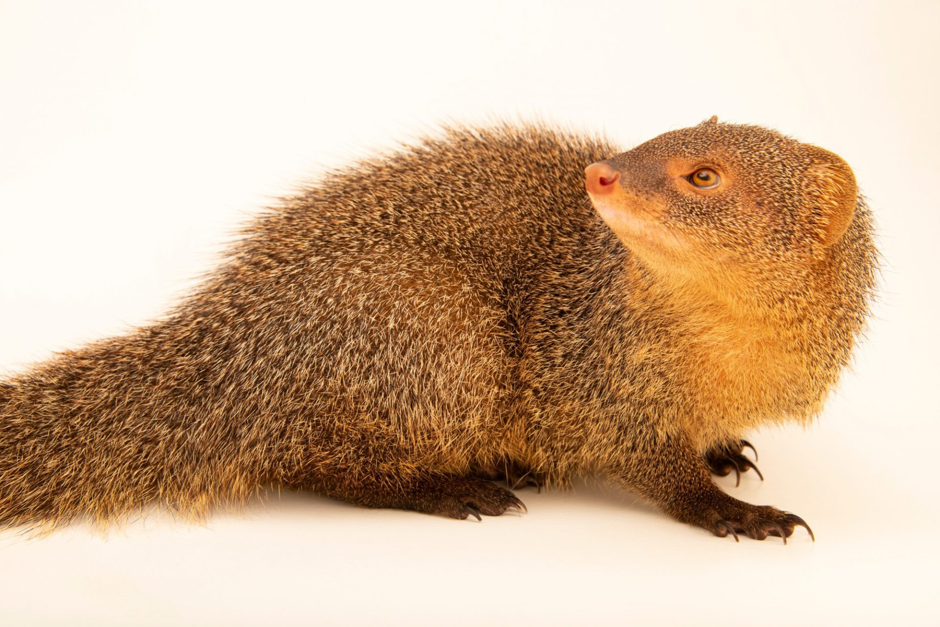 Photo: A Javan mongoose (Herpestes javanicus) from Sumatra, at Taman Safari.