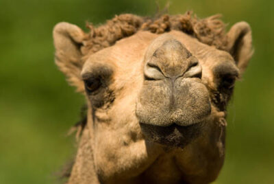 Photo: A dromedary camel at the Lincoln Children's Zoo
