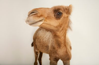 A Dromedary camel (Camelus dromedarius) at the Gladys Porter Zoo in Brownsville, Texas.