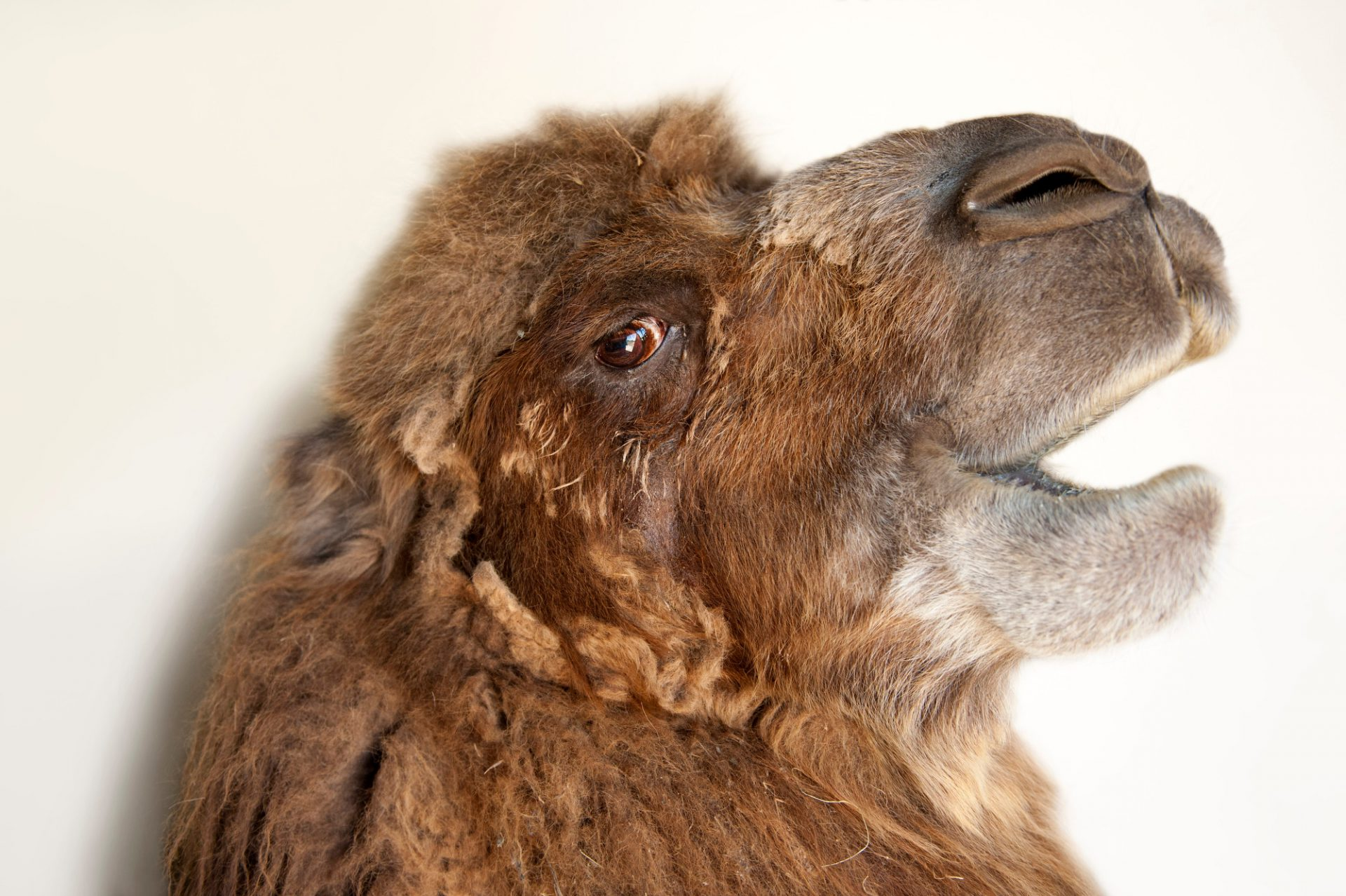 A critically endangered (IUCN) and federally endangered bactrian camel, Camelus bactrianus, at the Lincoln Children's Zoo.