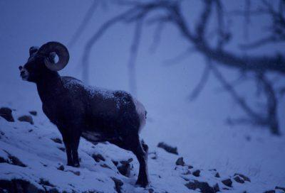 Photo: Bighorn sheep in Yellowstone National Park.