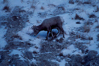Photo: Bighorn sheep at the National Elk Refuge near Jackson Hole,WY.