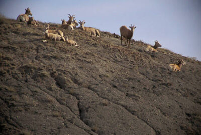 Photo: Bighorn sheep at the Charles M. Russell NWR in Montana.