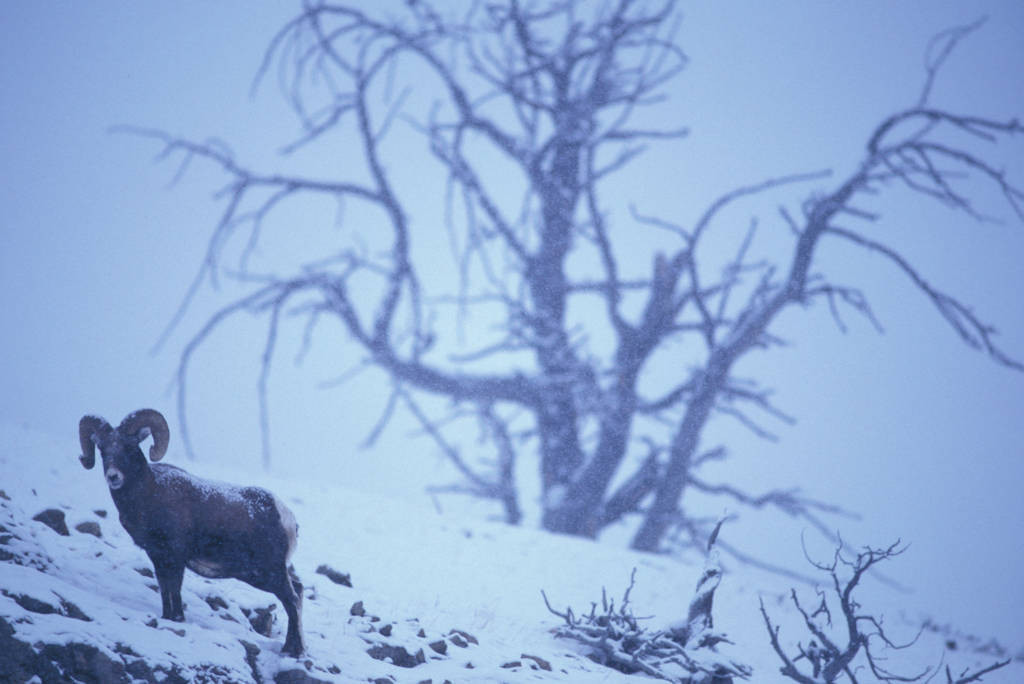 Photo: Bighorn sheep in Yellowstone National Park's Lamar Valley.