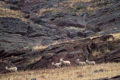 Photo: Bighorn sheep at Glacier National Park.
