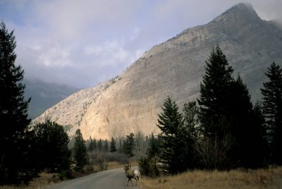 Photo: Bighorn sheep in the Rocky Mountain Front near Augusta, MT. The area is one of the last places to see the species in North America, and is currently threatened with coal bed methane development.