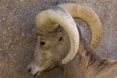 Photo: Bighorn Sheep at Zoo Montana.