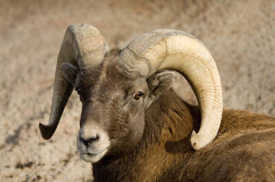 Photo: Bighorn sheep (Ovis canadensis) at the Denver Zoo.