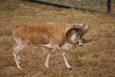 Photo: A Transcaspian urial (Ovis vignei arkal) at the Rolling Hills Wildlife Adventure.