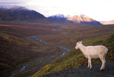 Photo: A dall sheep along the edge of Polychrome, a mountain pass in Denali National Park.