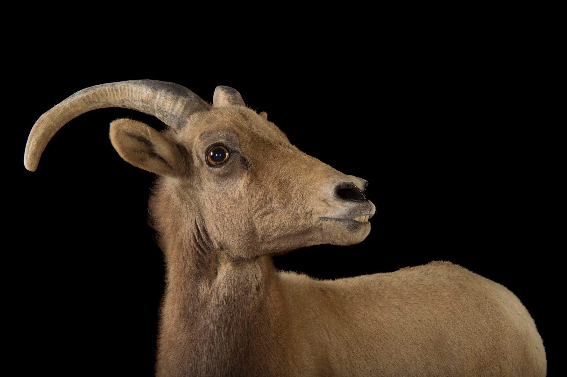 A federally endangered female desert bighorn sheep (Ovis canadensis nelsoni) named April at The Living Desert in Palm Desert, California.