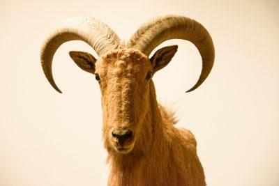 Photo: A barbary sheep (Ammotragus lervia) at Parco Natura Viva in Bussolengo, Italy.