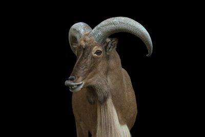 Photo: A Barbary sheep (Ammotragus lervia blainei) at the Dallas Zoo. This species is listed as vulnerable on the IUCN.