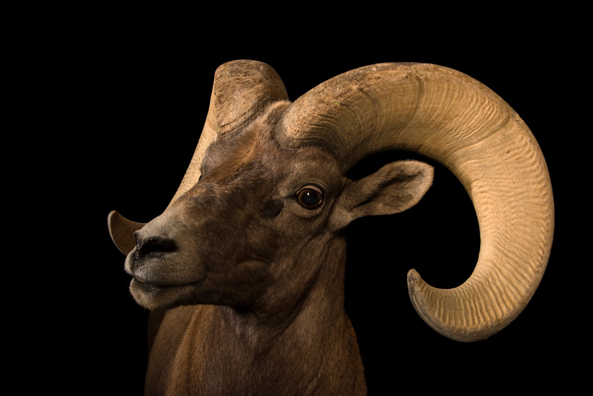 Photo: Desert bighorn sheep (Ovis canadensis nelsoni) at the Arizona Sonora Desert Museum in Tucson, AZ.