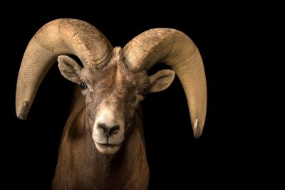 Photo: A male desert bighorn sheep ram (Ovis canadensis nelsoni) at the Arizona-Sonora Desert Museum in Tucson, AZ.