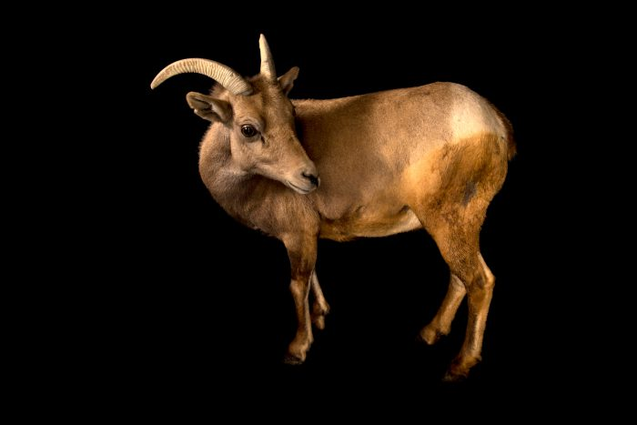 Photo: A female desert bighorn sheep (Ovis canadensis nelsoni) at the Arizona-Sonora Desert Museum in Tucson, AZ.