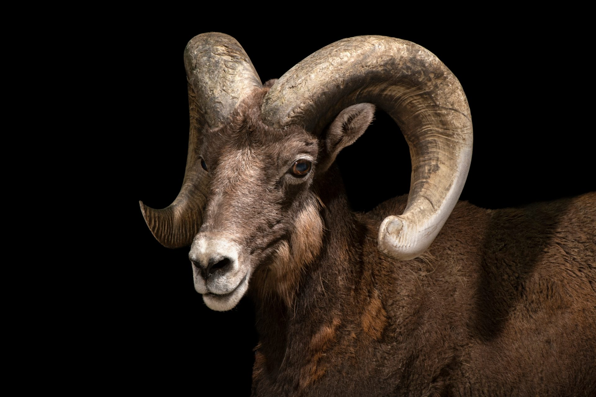 Photo: Cliff, a male Rocky Mountain bighorn sheep (Ovis canadensis canadensis) at the Denver Zoo.