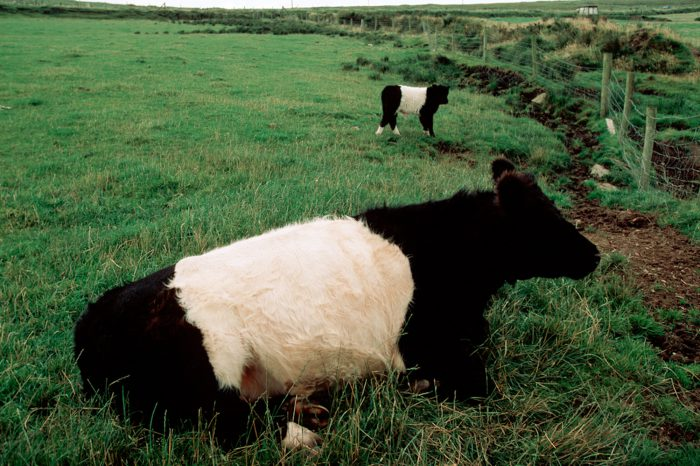 Photo: Belted Galloway cattle on Ireland's Dingle Peninsula.