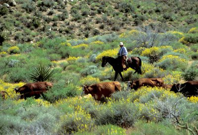 Photo: Cattle ranching on federal land in the Mojave Desert in California.