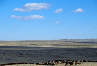 Photo: Cattle ranching on federal land in the Charles M. Russell NWR, Montana.