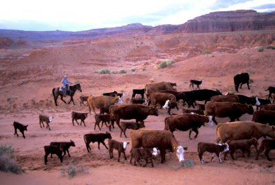 Photo: Cattle ranching on federal land in Capital Reef National Park, Utah.