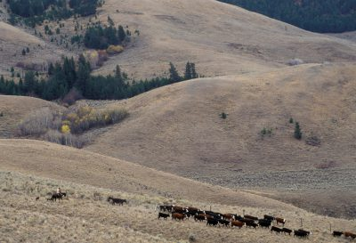 Photo: Cattle ranching on federal land near Leadore, Idaho.