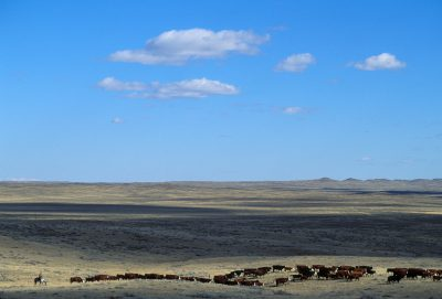 Photo: Grazing cattle at the Charles M. Russell NWR in Montana.