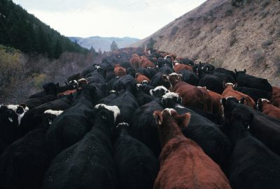 Photo: Cattle being driven off of BLM land in the fall near Leadore, Idaho.