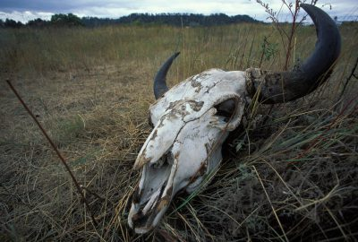 Photo: A steer head skeleton on the prairie at Fort Niobrara National Wildlife Refuge near Valentine, Nebraska.