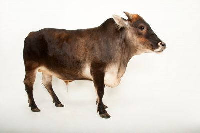 A dwarf zebu steer (Bos taurus indicus) at the Gladys Porter Zoo in Brownsville, Texas.
